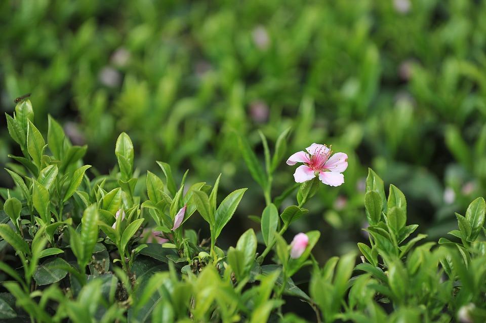 tea-garden-1557695_960_720