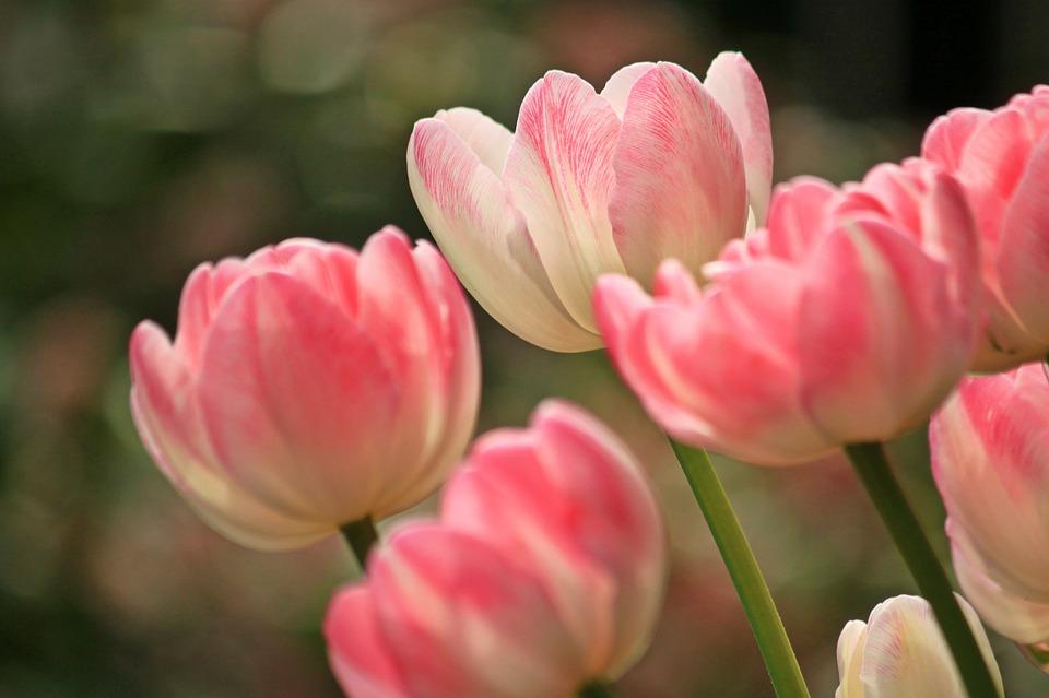tulips-1134103_960_720